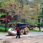NY tree transplanting
